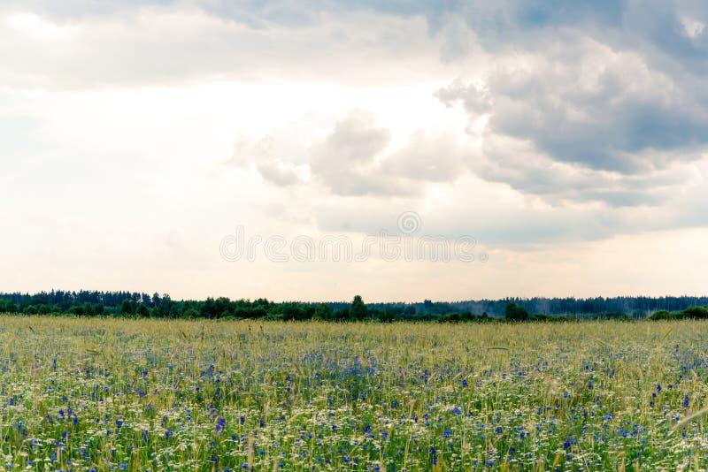 Champ d'?t?, paysage d'?t?, bleuets et camomilles floweRussian, oreilles du bl?, ciel sombre avec des nuages photographie stock libre de droits
