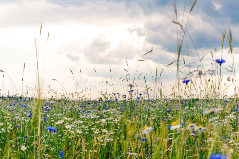 Champ d'?t?, paysage d'?t?, bleuets et camomilles floweRussian, oreilles du bl?, ciel sombre avec des nuages photo libre de droits