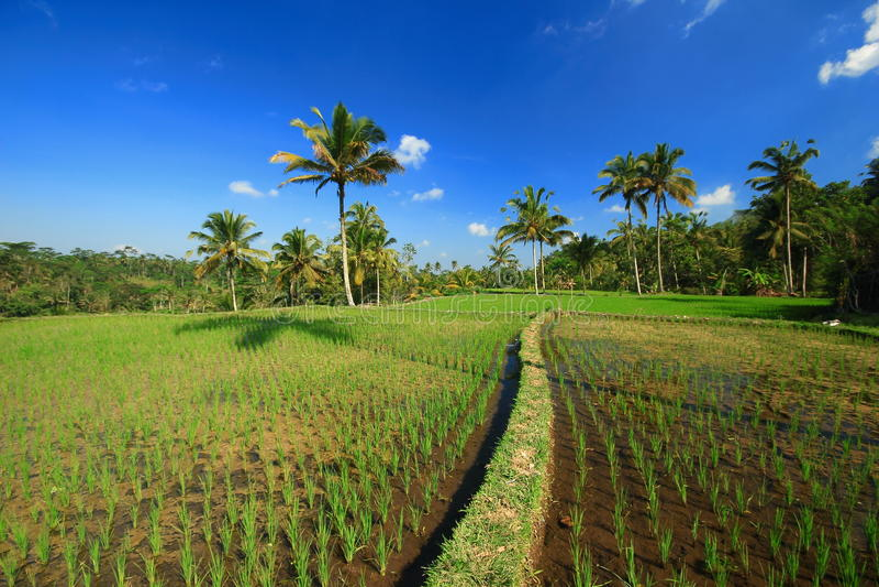 Champ d'usine d'arbre d'île de Bali de terrasse de riz photo libre de droits