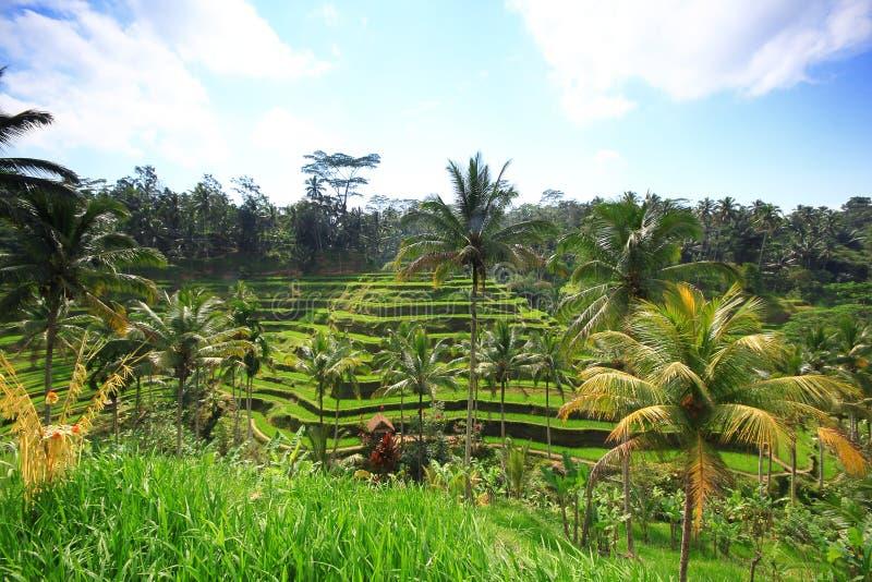 Champ d'usine d'arbre d'île de Bali de terrasse de riz image libre de droits