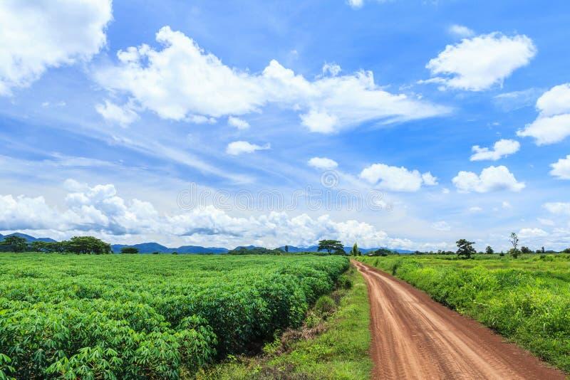 Champ d'usine de manioc photographie stock
