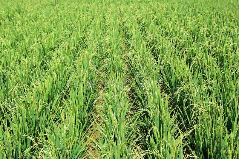 Champ d'usine de riz hybride image libre de droits