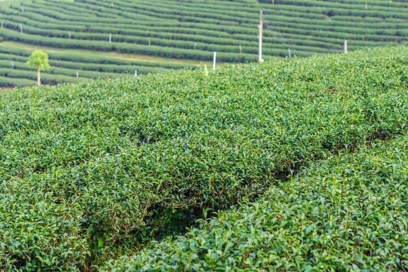 Champ d'usine de thé d'herbe sur la colline en Chiang Rai, Thaïlande image libre de droits