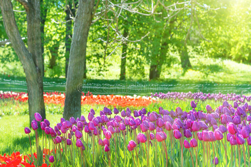 Champ de beaucoup de tulipes lilas photographie stock libre de droits