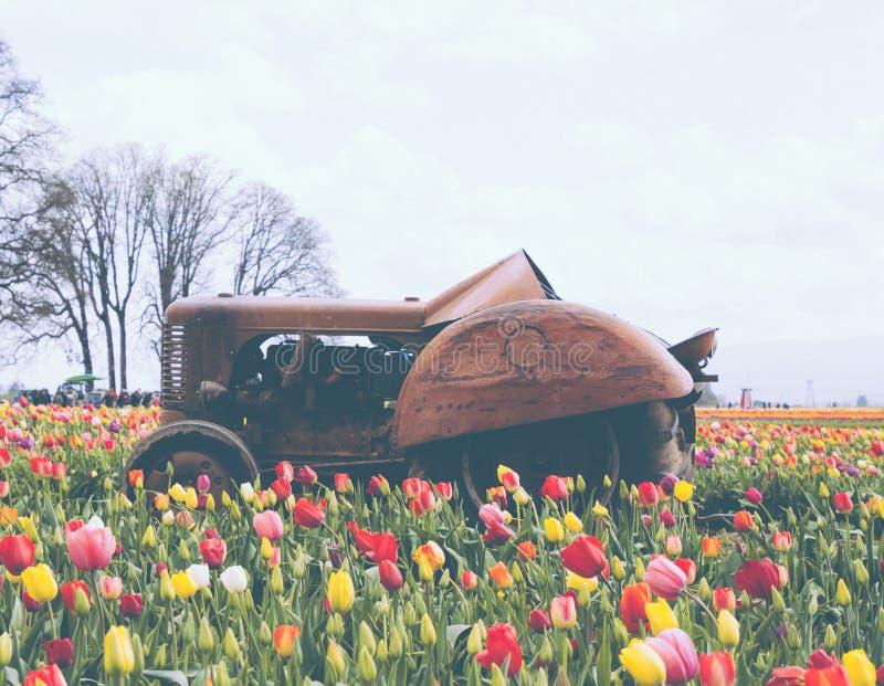 Champ de belles tulipes colorées de floraison avec un vieux tracteur rouillé au milieu images stock