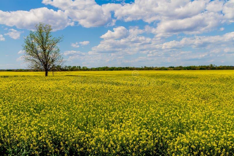 Champ de belles usines fleurissantes jaunes lumineuses de Canola (graine de colza) images libres de droits