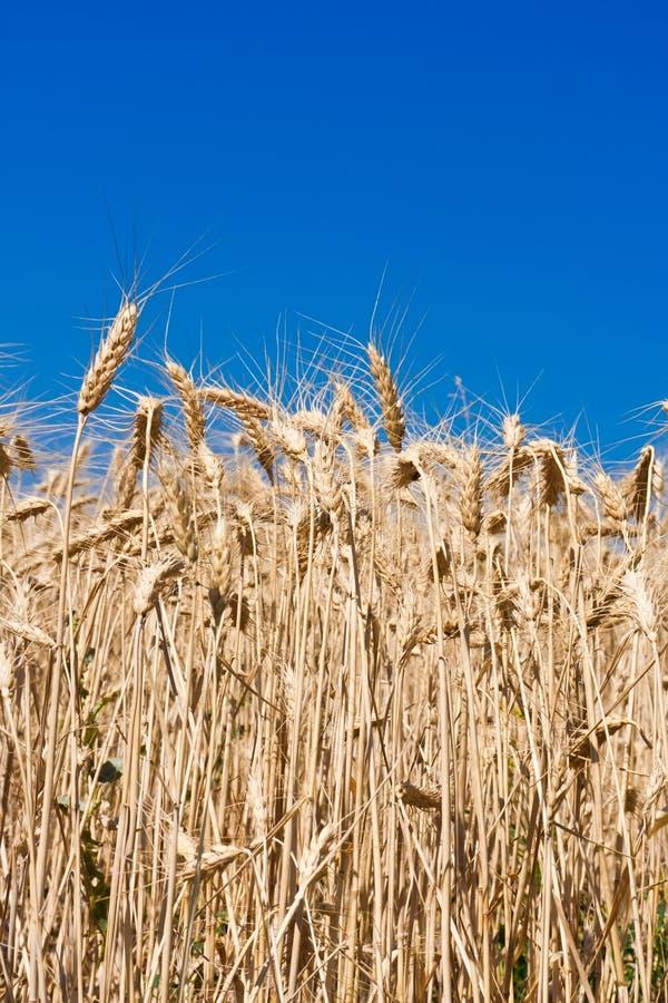 Champ de blé images libres de droits