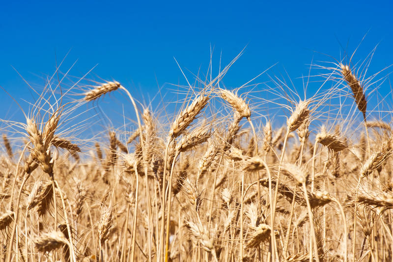 Champ de blé photo libre de droits