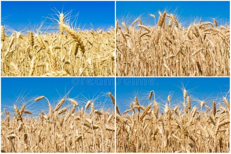 Champ de blé photographie stock