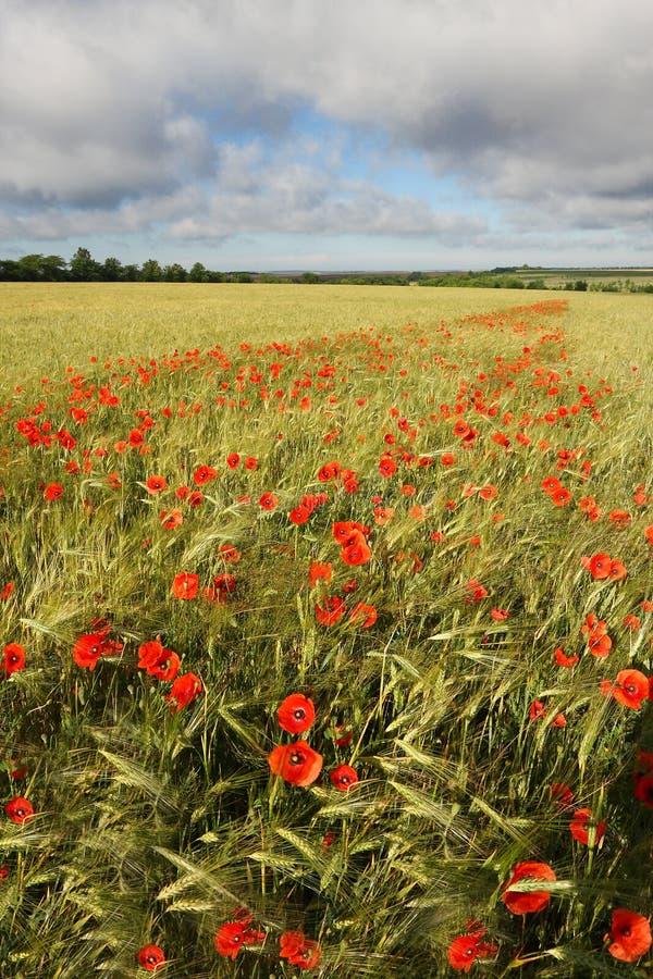 Champ de blé avec des maquis fleurissants image libre de droits