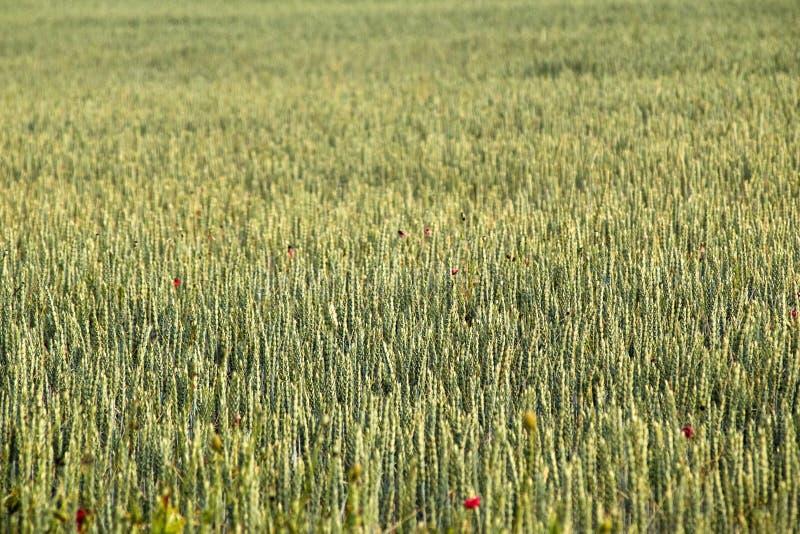 Champ de blé avec de jeunes usines en vent d'été image stock