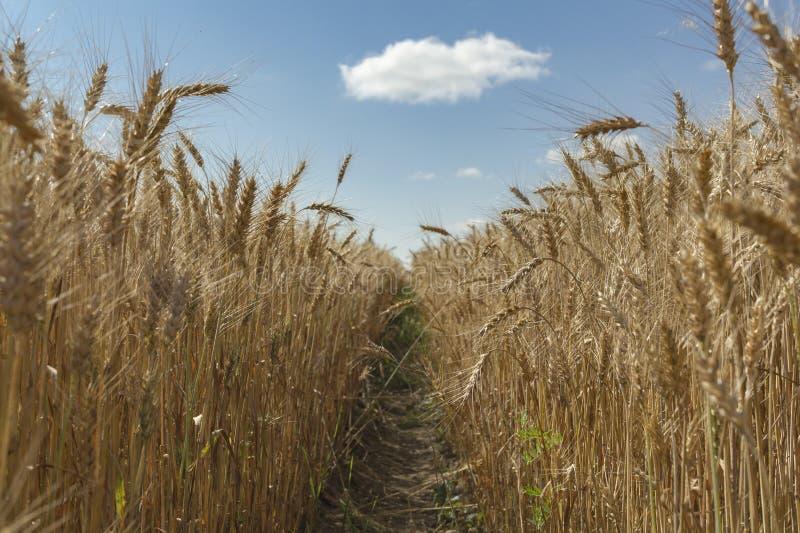 Champ de blé avec le ciel et les nuages de la perspective photo stock