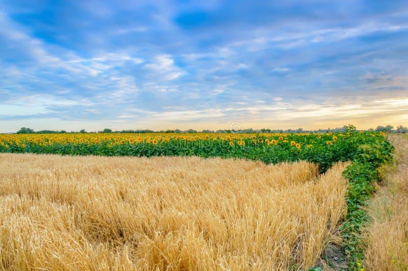 Champ de blé avec les noyaux mûrs au coucher du soleil Paysage rural d'?t? Concept de r?colte riche photo libre de droits