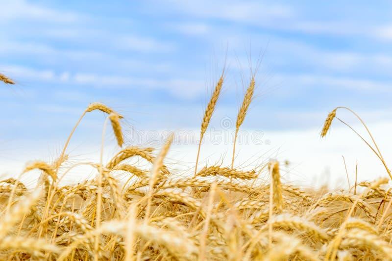 Champ de blé avec les noyaux mûrs au coucher du soleil Paysage rural d'?t? Concept de r?colte riche images stock