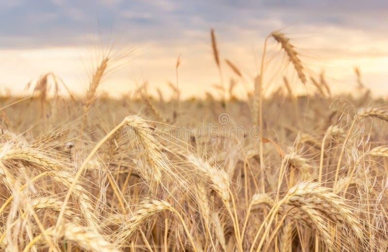Champ de blé avec les noyaux mûrs au coucher du soleil Paysage rural d'?t? Concept de r?colte riche photos stock