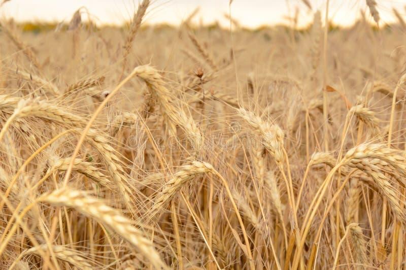 Champ de blé avec les noyaux mûrs au coucher du soleil Paysage rural d'?t? Concept de r?colte riche image stock