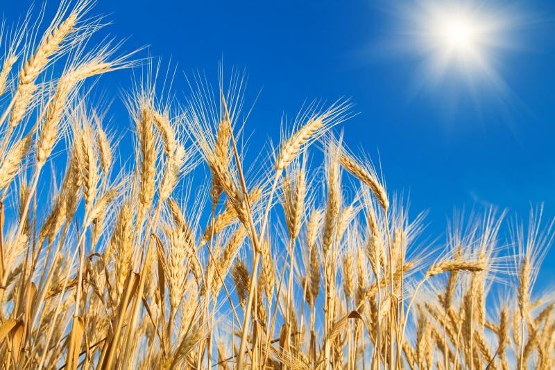 Champ de blé d'or image libre de droits