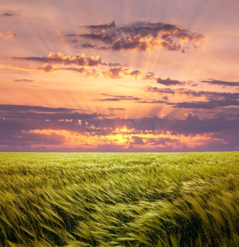 Champ de blé d'avidité et beau ciel de coucher du soleil photographie stock libre de droits