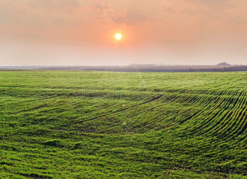 Champ de blé d'hiver contre du lever de soleil au premier ressort photographie stock libre de droits