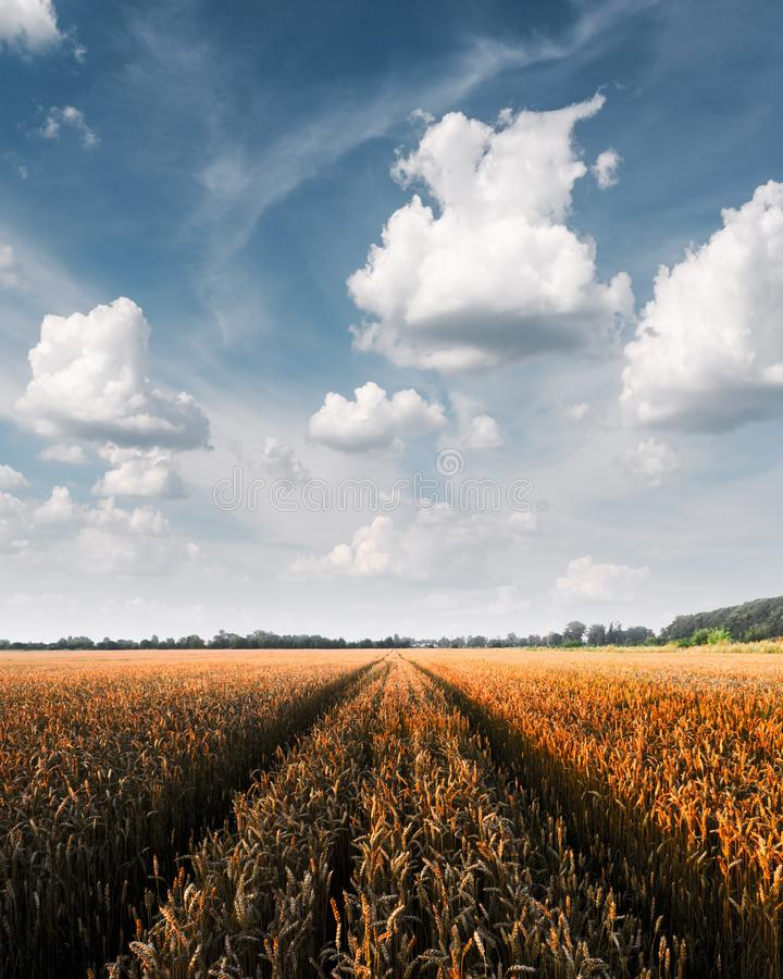 Champ de blé d'or mûr sur le fond de ciel bleu images libres de droits