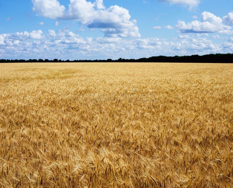 Champ de blé d'or prêt pour la récolte Llandscape avec le ciel bleu et les nuages image libre de droits