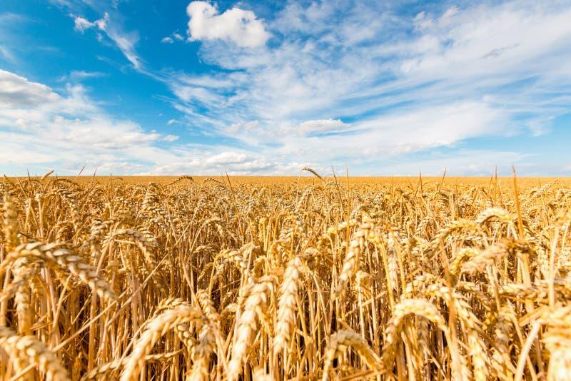 Champ de blé d'or sur le fond de ciel bleu images stock