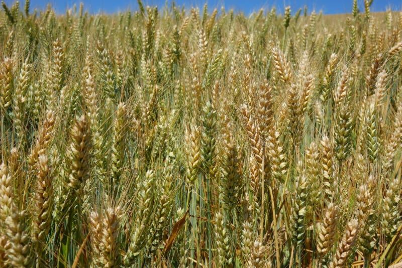 Champ de blé de l'Idaho images libres de droits