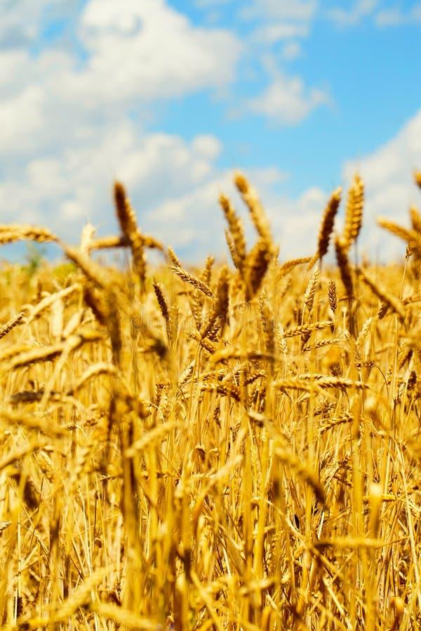 Champ de blé en été à côté d'un ciel bleu avec des nuages un jour ensoleillé Beau fond de nature photos stock