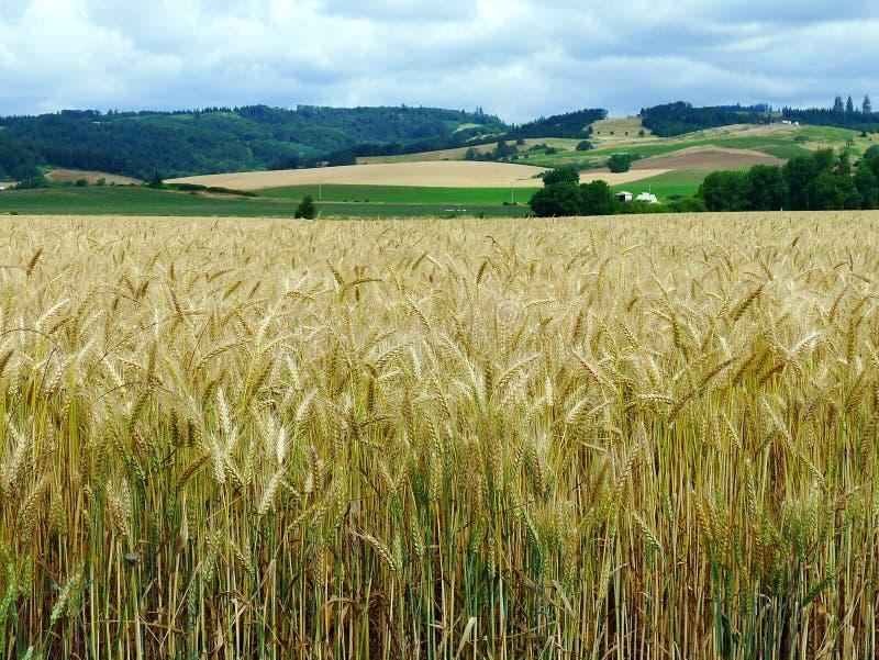 Champ de blé en plaines du nord, Orégon photos libres de droits