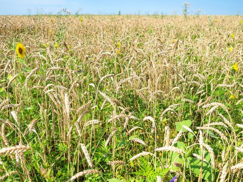 champ de blé envahi avec le tournesol en été photos stock