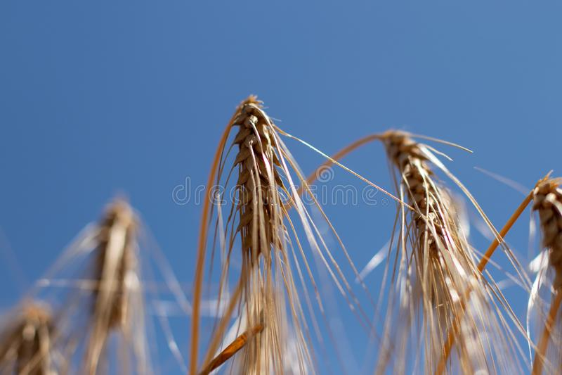 Champ de blé, foyer sur le premier plan photo stock