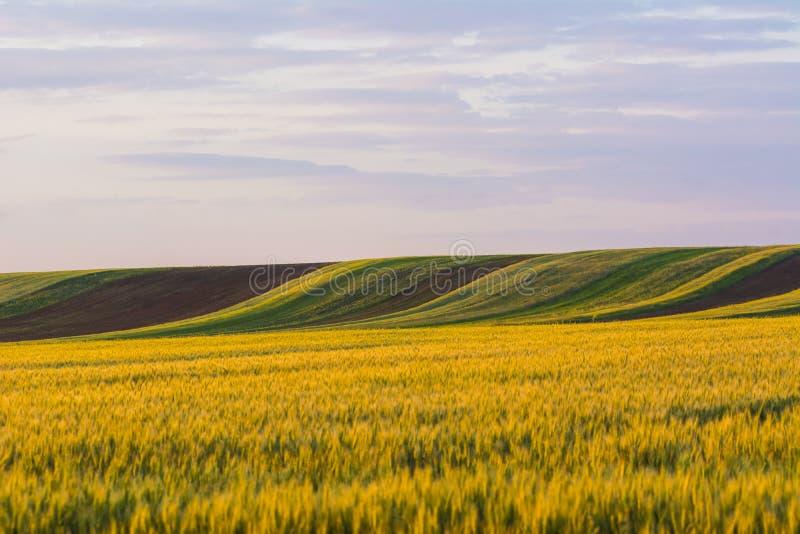 Champ de blé jaune et herbe verte, colis agricoles images stock
