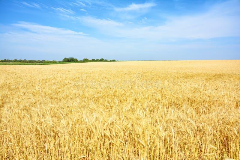 Champ de blé jaune, récolte des cultures de grain Oreilles mûres de blé de photos libres de droits