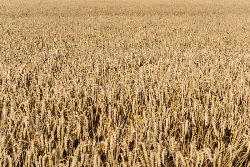 Champ de blé mûr à la fin de l'été images libres de droits