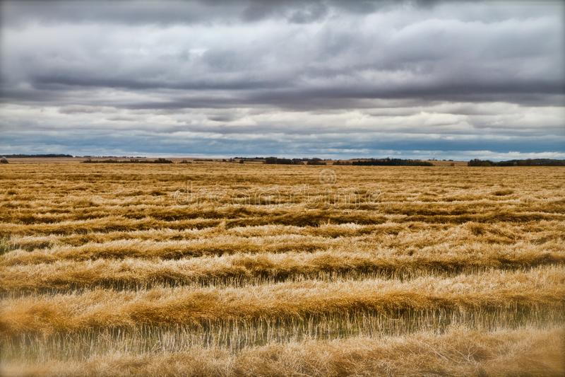 Champ de blé moissonné photographie stock