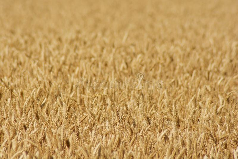 Champ de blé prêt à être moissonné Foyer sélectif photo stock