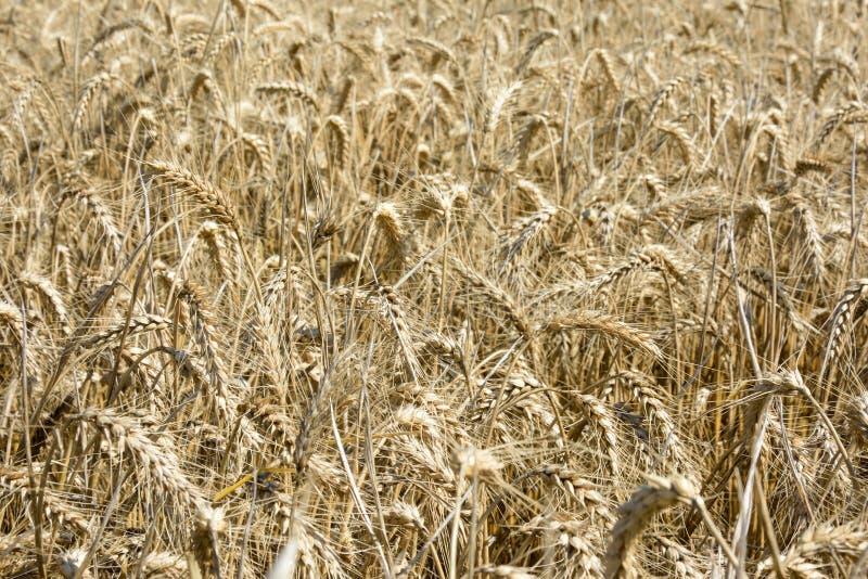 Champ de blé riped images stock