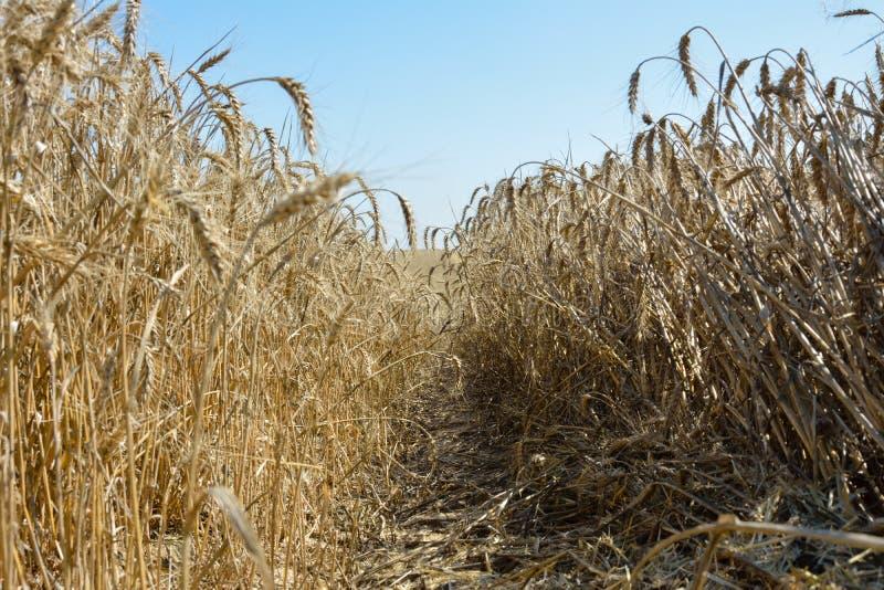 Champ de blé riped image stock
