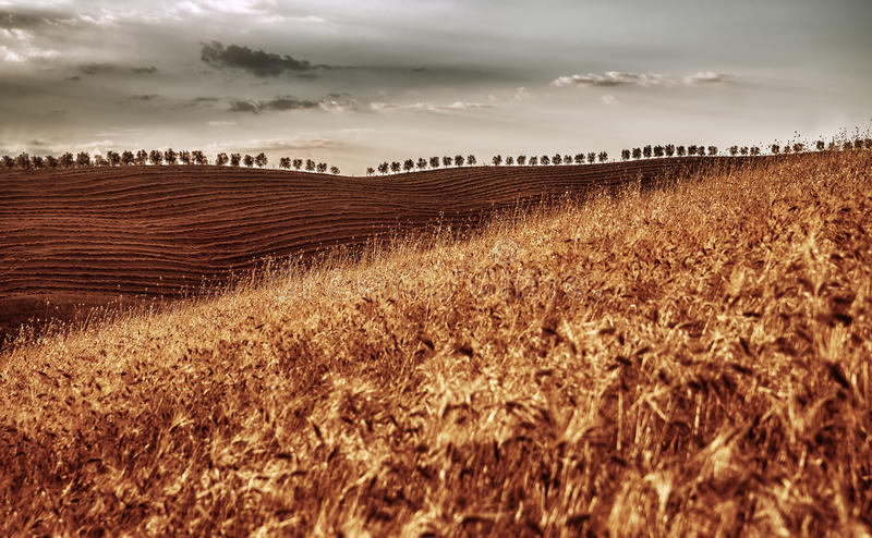 Champ de blé sec d'or image stock