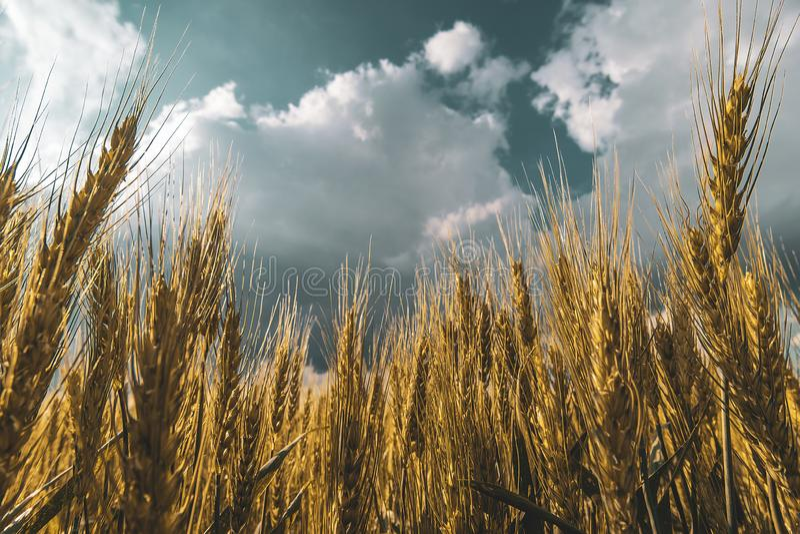 champ de blé sous le ciel de nuage de coucher du soleil photo stock