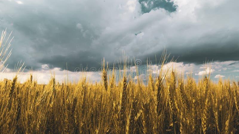 champ de blé sous le ciel de nuage de coucher du soleil photos stock