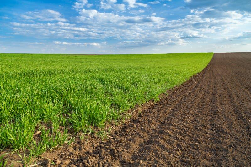 Champ de blé vert poussant au printemps photos stock
