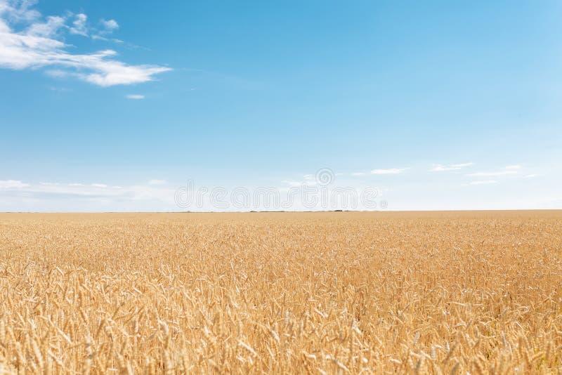 Champ de blé, vue de paysage, jour ensoleillé, beaucoup de hectares de terre avec du blé photo libre de droits
