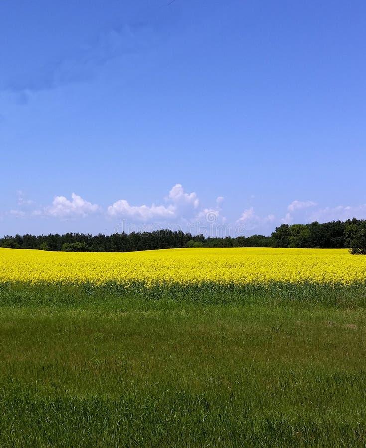 Champ de canola jaune fleurissant dans Manitoba du sud photographie stock