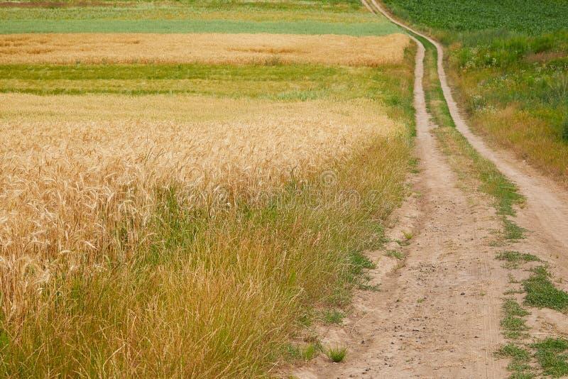 Champ de cereale de sécale avec la route de campagne Route de Rrural par des champs photos stock