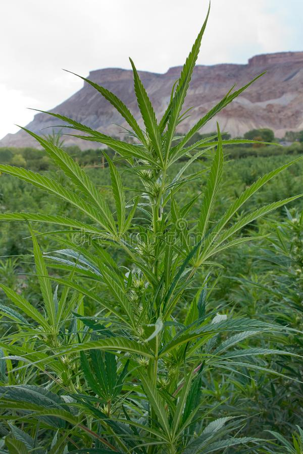 Champ de chanvre industriel ou de marijuana photos libres de droits