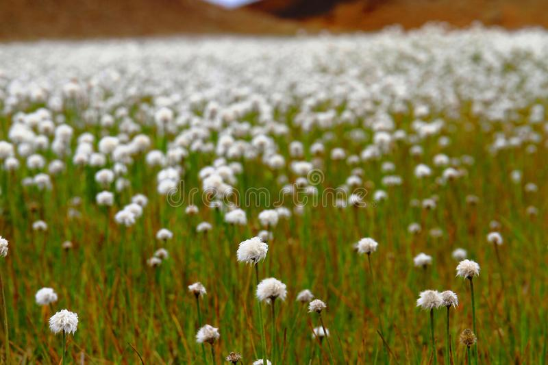 Champ de Cottongrass de Scheuchzer, Hrafnafifa, Islande photographie stock