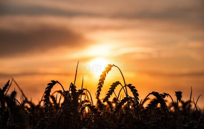 Champ de coucher du soleil et maïs mûr photographie stock libre de droits