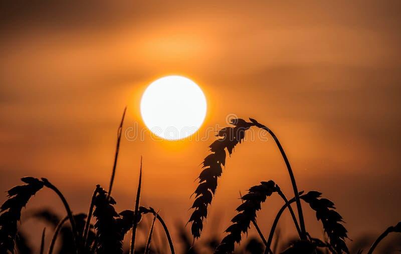 Champ de coucher du soleil et maïs mûr photo stock