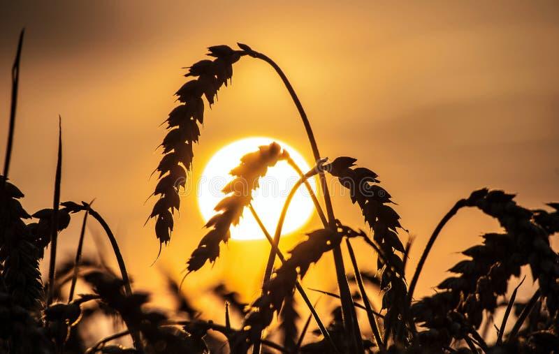 Champ de coucher du soleil et maïs mûr images stock